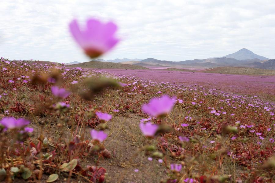 пустыня Атакама в цветах