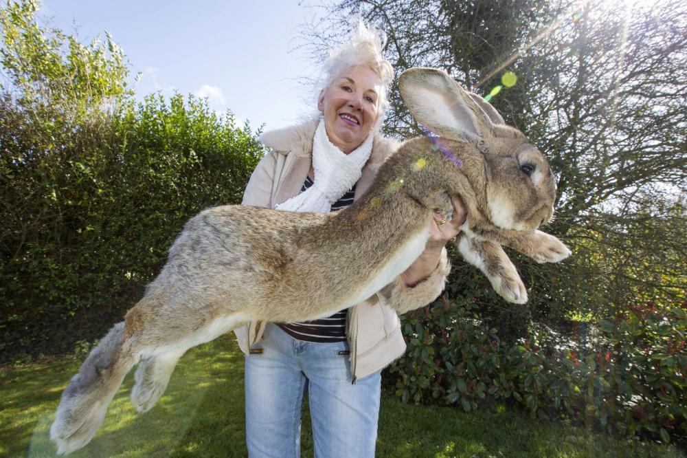 Дариус — самый большой кролик в мире