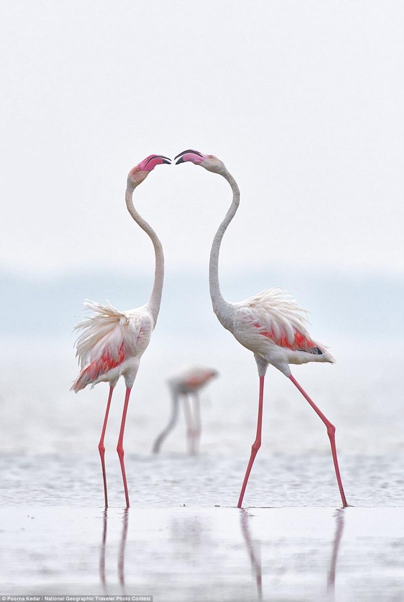 Большие фламинго