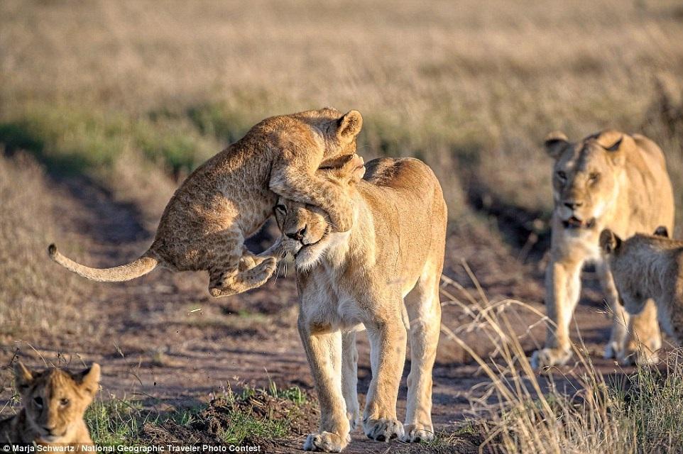 Львенок играет с мамой в заповеднике Масаи-Мара